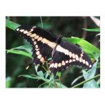 Giant Swallowtail Postcard