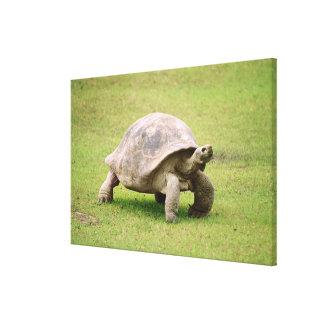 Giant Tortoise walking on grass Canvas Print