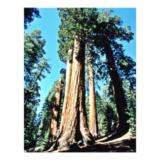Giant Trees - Sequoia National Forest Flyers