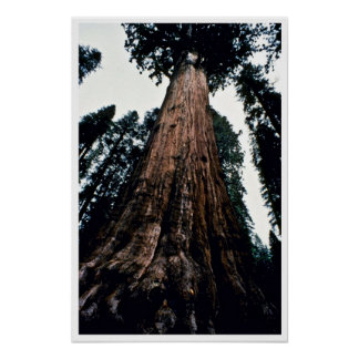 Giant Trees - Sequoia National Park Poster