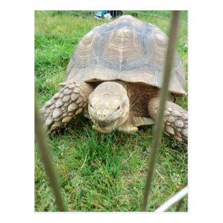 Giant Turtle, 1 Postcard