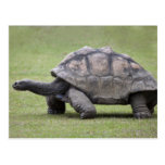 Giant turtle in grass post cards