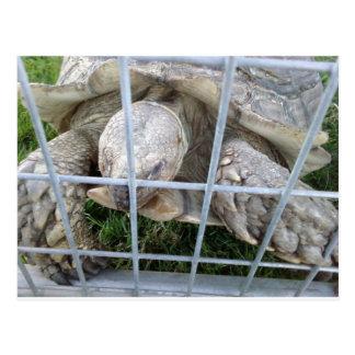 Giant Turtle Postcard