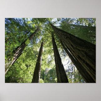 """""""Giants"""", maderas de Muir Póster"""