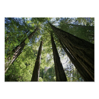 """Giants"", Muir Woods Poster"