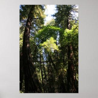 """""""Giants que se inclina"""", maderas de Muir Impresiones"""