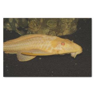Gibbiceps de Glyptoperichthys Papel De Seda Pequeño