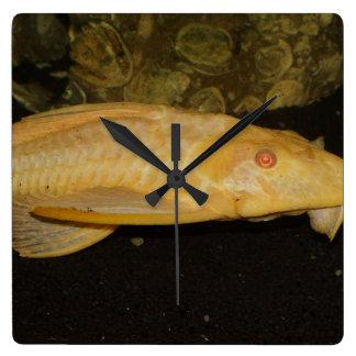 Gibbiceps de Glyptoperichthys Reloj Cuadrado