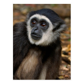 Gibbon Blanco-Dado (lar) del Hylobates, Monkeyland Tarjeta Postal