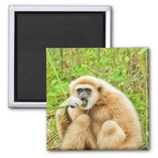 Gibbon - imán
