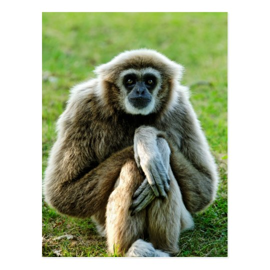Gibbon, Let's talk about the meaning of life... Postcard