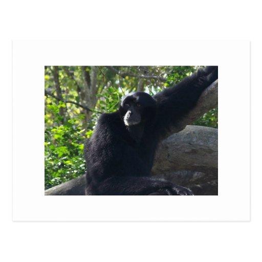 Gibbon Postcards