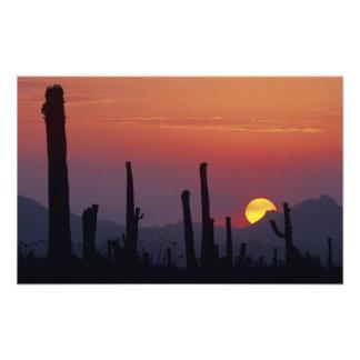 Gigantea del Carnegiea del cactus del Saguaro), pu Fotografía