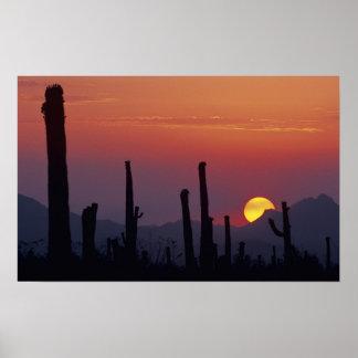Gigantea del Carnegiea del cactus del Saguaro), pu Poster