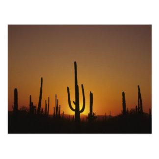Giganteus gigante del cirio del cactus del postales