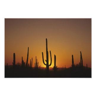 Giganteus gigante del cirio del cactus del saguaro fotografía