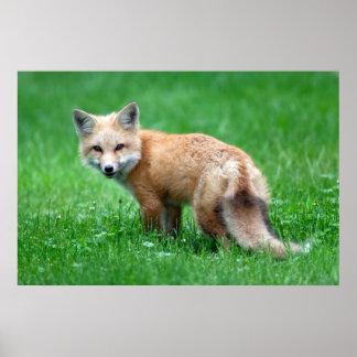 Gigantic Red Fox Poster
