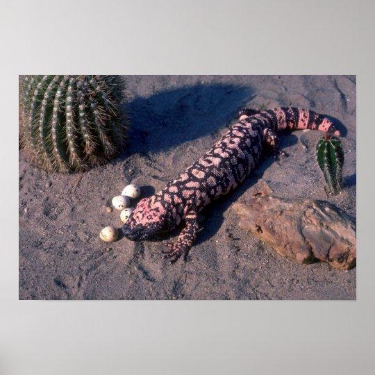 Gila Monster Lizard eating Desert Quail eggs Poster