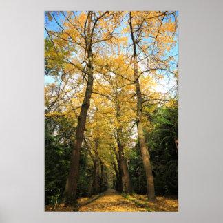 Ginkgo biloba trees posters