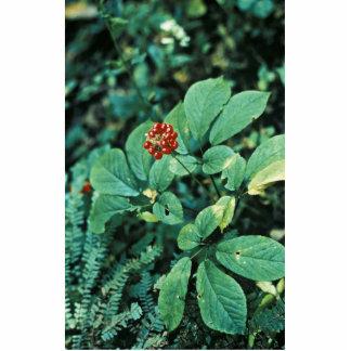 Ginseng ( American ) Photo Cutout