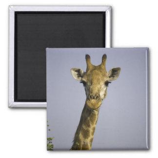 Giraffa Camelopardalis Imán De Frigorifico