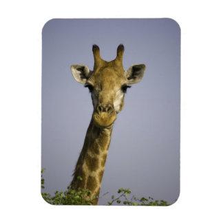 Giraffa Camelopardalis Imán Flexible