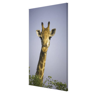 (giraffa camelopardalis), looking at camera, in stretched canvas print