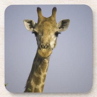 (giraffa camelopardalis), looking at camera, in drink coaster