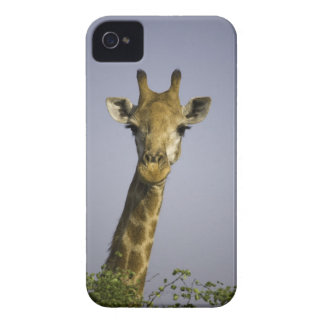 (giraffa camelopardalis), looking at camera, in iPhone 4 cover