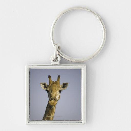 (giraffa camelopardalis), looking at camera, in key chain