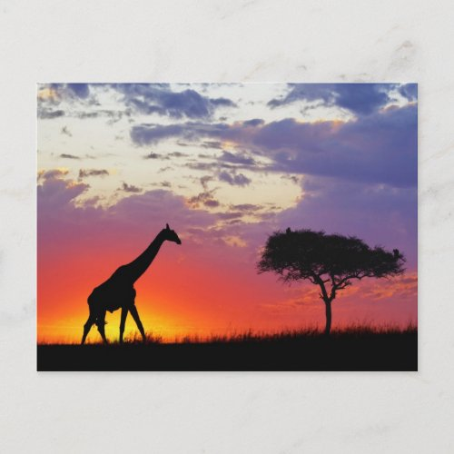 Giraffa silhouetted at sunrise postcard