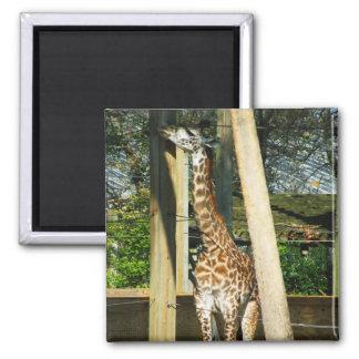 Giraffe 2 Inch Square Magnet