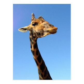 giraffe-468948 FUNNY HUMOR WILD ANIMALS ATTITUDE L Postcard