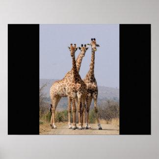 Giraffe Africa Safari Animal Personalize Giraffes Poster