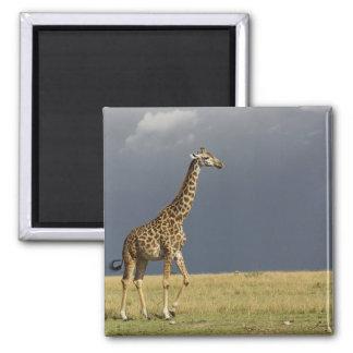 Giraffe and stormy sky, Giraffa camelopardalis Magnet