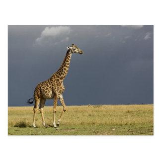 Giraffe and stormy sky, Giraffa camelopardalis Post Cards