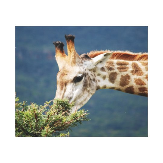 Giraffe and the best leaves are on top canvas print