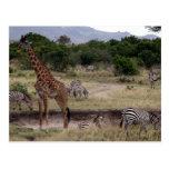 giraffe and zebra post card