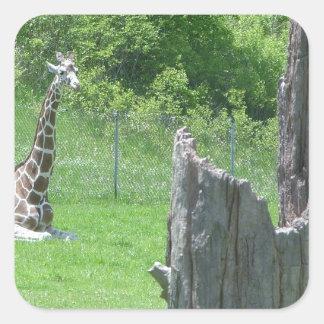 Giraffe Behind a Broken Tree Stump During Summer Square Sticker