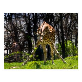 Giraffe Bowing Postcard
