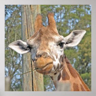 Giraffe Chewing a Stick  Poster