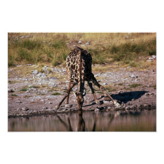 Giraffe - Drinking Poster
