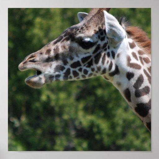 Giraffe Eating Poster Print