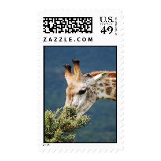 Giraffe eating some leaves stamp