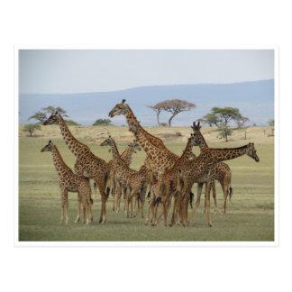 giraffe gathering postcard