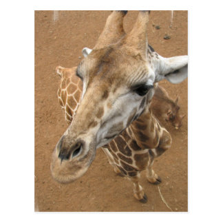 Giraffe Gaze Postcard