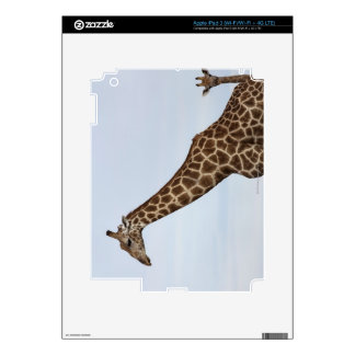Giraffe (Giraffa camelopardalis), Chobe National P Decal For iPad 3
