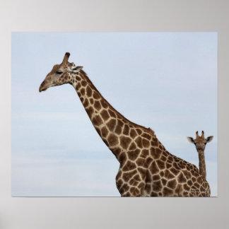 Giraffe (Giraffa camelopardalis), Chobe National Poster