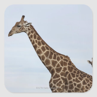 Giraffe (Giraffa camelopardalis), Chobe National Sticker
