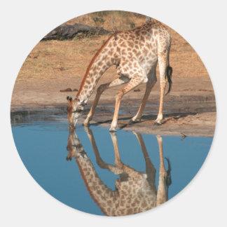Giraffe (Giraffa Camelopardalis) Drinking Classic Round Sticker
